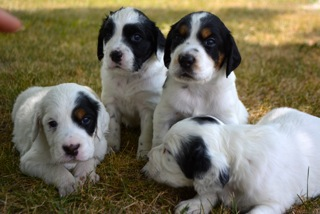 LLewellin Setter Puppies