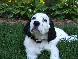 Houdini Llewellin Setters - Puppy Photo Gallery